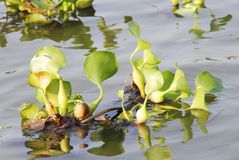 Floating plants Royalty Free Stock Photography