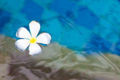 Floating plumeria Stock Photos