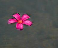 Floating Plumeria Royalty Free Stock Images