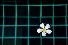 Floating Plumeria in the pool Royalty Free Stock Photo