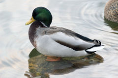Floating in the pond ducks Royalty Free Stock Image