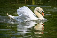 Floating in the pond white Swan. Birds and wildlife
