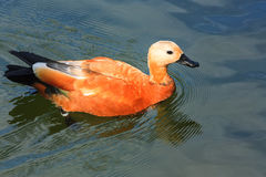 Floating red duck Royalty Free Stock Photos