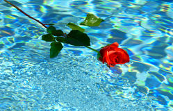 Floating rose Royalty Free Stock Image