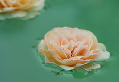 Floating rose. Nature's serenity - a water garden Royalty Free Stock Photo