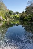 Floating Sakura on a Pond. A View of some floating cherry blossoms in a pond stock images
