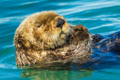 Floating Sea Otter. Close Portrait of Northern Sea Otter Floating In Water Stock Photo