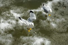 Floating Seagulls. Two seagulls staying afloat on melting ice Stock Image