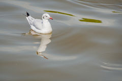 Floating seagulls bird migrates from northern region of Asia to Thailand Royalty Free Stock Photos