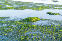 Floating seaweed at low tide of Waddensea, Netherlands Royalty Free Stock Photo