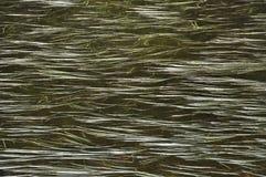 Floating Strands on Bear Lake Royalty Free Stock Image