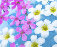 Floating Summer Flowers. Beautiful white and pink flowers on the water Stock Photo