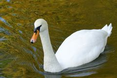 Floating swan Stock Images