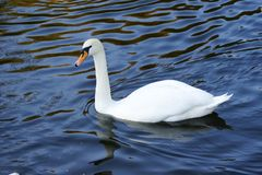 Floating swan Stock Photo