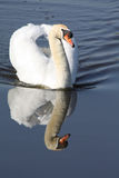 Floating Swan Stock Photography