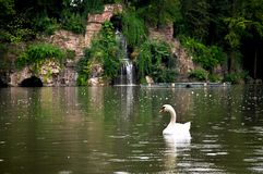 A floating swan in lake royalty free stock photo