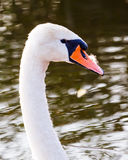 Floating swan Royalty Free Stock Photos