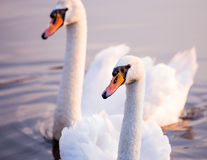 Floating swans Royalty Free Stock Image