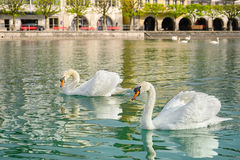 Floating swans in reuss river, Switzerland Royalty Free Stock Image