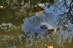 Floating turtle closeup Royalty Free Stock Image