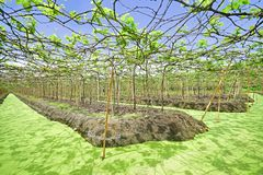 Floating Vineyard In Samut Sakhon Province, Thailand Stock Photos