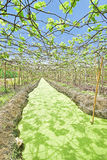 Floating Vineyard in Thailand with single canal visible Royalty Free Stock Photo