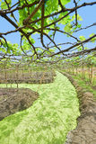 Floating Vineyard in Thailand Stock Photo
