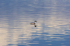 Floating Water Bird Royalty Free Stock Images