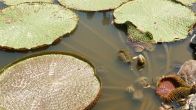 Floating water lilies in pond. From above of green leaves floating in tranquil water. symbol of buddhist religion on. Sunny day. Huge Lotus pads in calm pond stock video