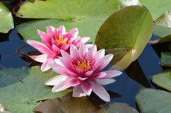 Floating water lilly flowers Stock Image