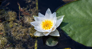 Floating water lily flower with small bugs and large green leaf aside in dark dirty swamp Stock Photos