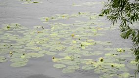 Floating water lily stock footage