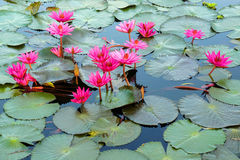 Floating water lily Stock Photo