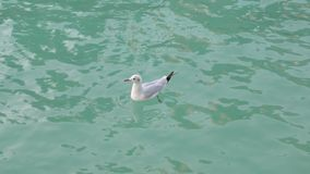 Floating white seagull on turquoise water of sea in daytime, close-up. Of alone bird stock footage
