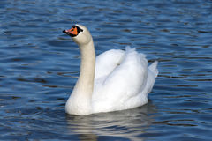 Floating white swan Stock Photo