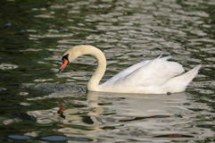 Floating white swan Stock Photo