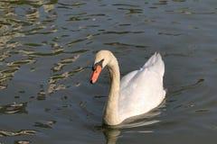 Floating white swan Stock Photos