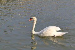 Floating white swan Royalty Free Stock Images