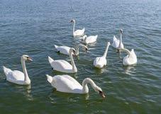 Floating white swans stock photography