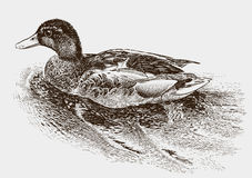 Floating wild duck Stock Images