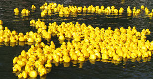 Floating yellow little ducks Royalty Free Stock Photography