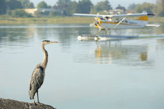 Floatplane and Heron, YVR, Richmond, BC. A Great Blue Heron watches a float plane taxi on the Fraser River beside the Vancouver International Airport (YVR) Royalty Free Stock Photo