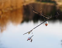 Floats. Fishline jam and two floats hanging on a branch Royalty Free Stock Image