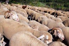 Flocculo delle pecore Fotografia Stock