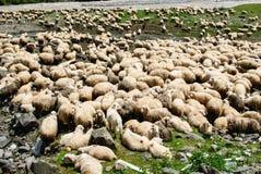 flock овцы стоковая фотография
