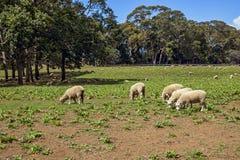 flock овцы Стоковые Изображения