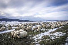 flock овцы Стоковое Изображение