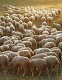 flock овцы Стоковые Фото