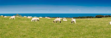 flock овцы Стоковая Фотография RF