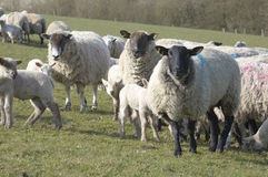 Flock. A flock of sheep in a field at feeding time Stock Image